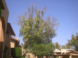 Dying Tree in Tempe, AZ
